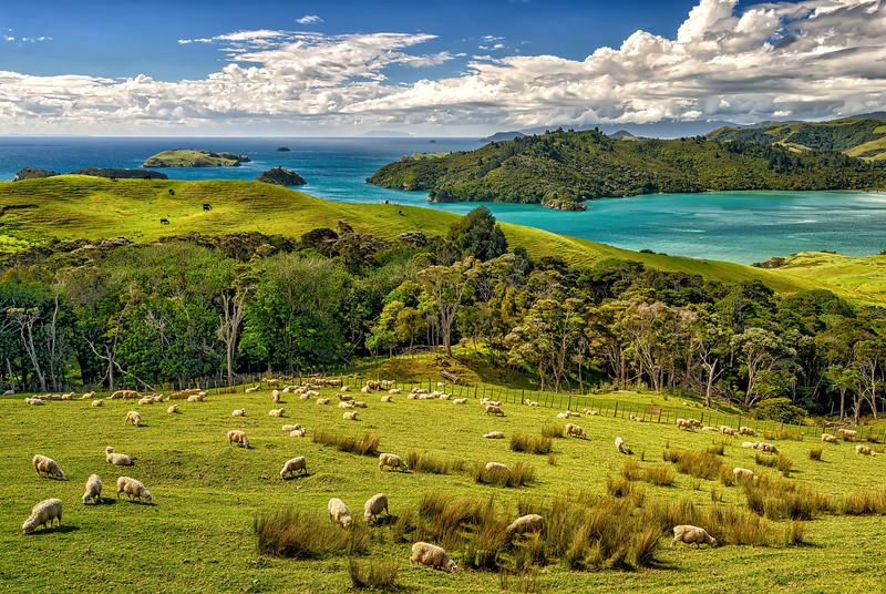 North Island Sheep Grazing (NZ)