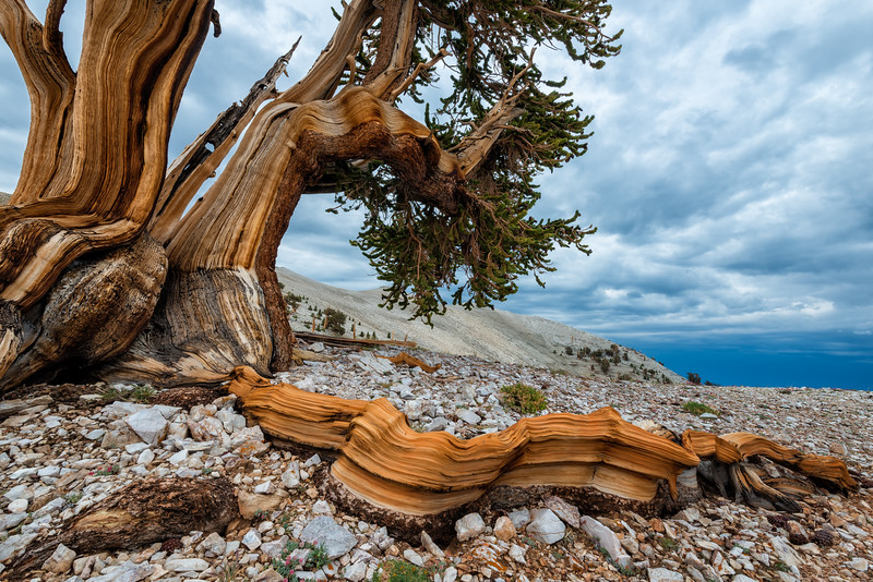 Root of the Pine