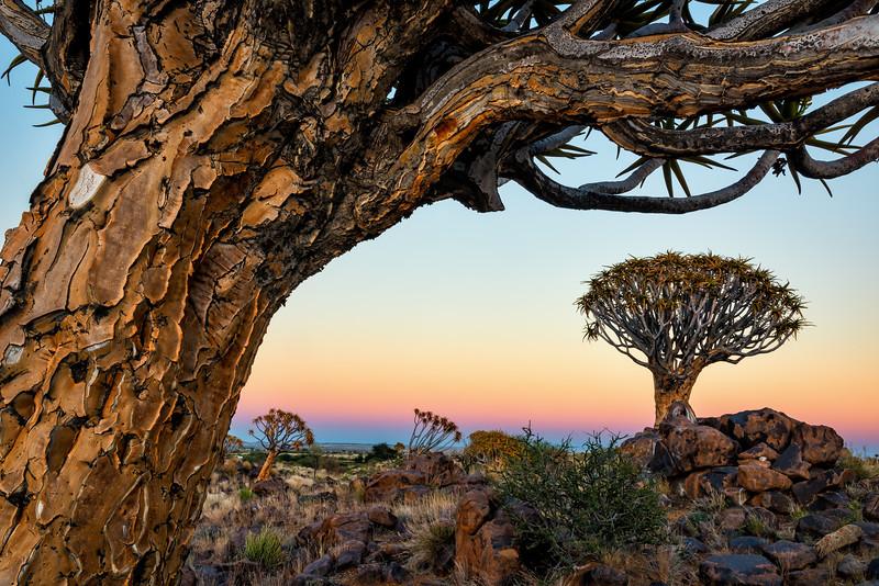 Quiver Trees at Sunrise