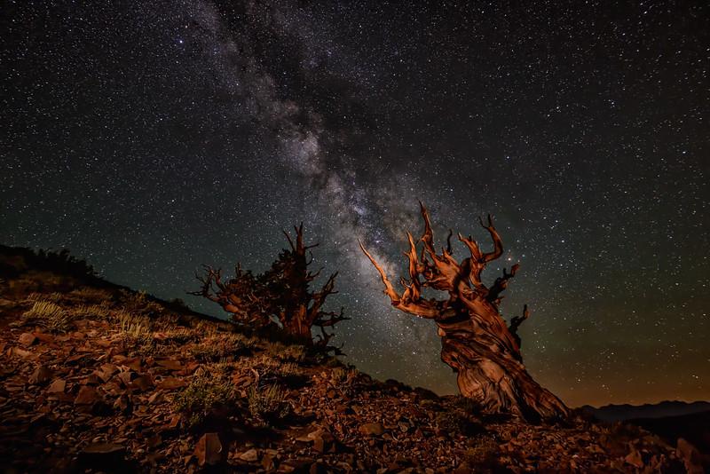 Ancient Bristlecones with Milky Way