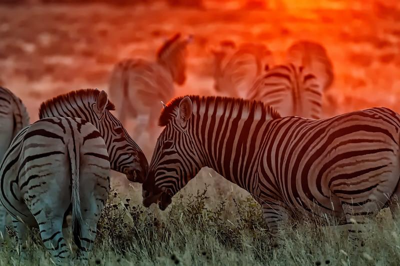 Zebra Nuzzling