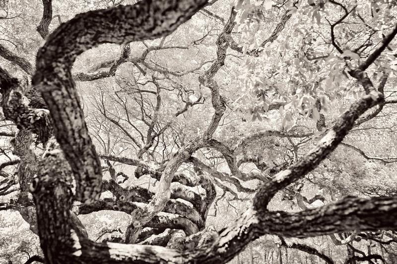 Angel Oak in Charleston