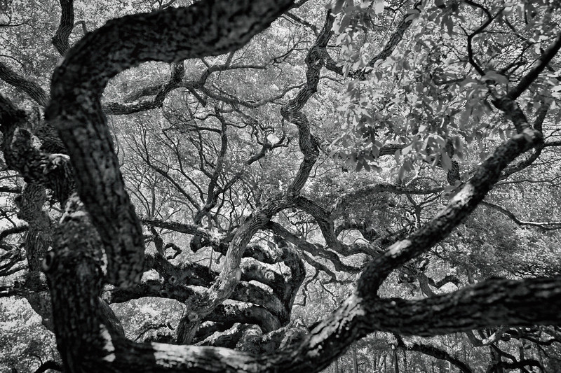 Angel Oak in Charleston