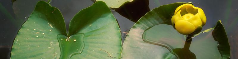 Lilypad Lake