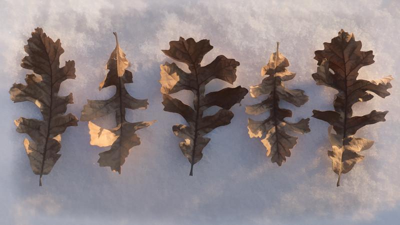 20170305KW_LN_Oak Leaves Stylin