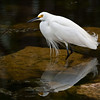 Snowy Egret, Big Cypress Preserve, Everglades, FL, January 2006