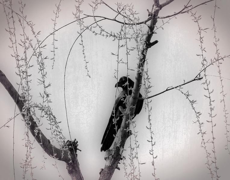 KARASU (Japanese Crow)