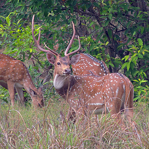Indian Spotted Deer (Chital) - square crop