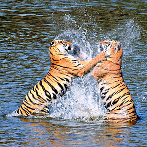 Water Boxing - wild Bengal tiger sisters in northern India; square crop.