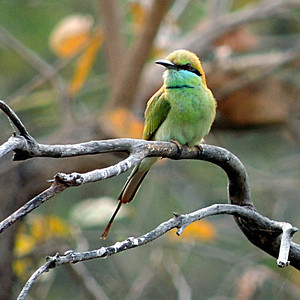 Little Green Bee-eater (Merops orientalis) - square crop.