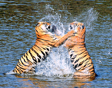 Water Boxing - wild Bengal tiger sisters in northern India; 11x14 crop.
