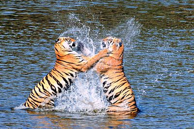 Water Boxing - wild Bengal tiger sisters in northern India; 4x6, 8x12, 12x18, 16x24, 20x30 or 24x36 crop.