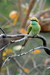 Little Green Bee-eater (Merops orientalis) - 4X6 crop