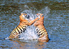 Water Boxing - wild Bengal tiger sisters in northern India; 5x7 crop.