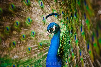 Peacock - $100