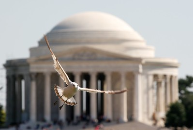Seagull at the Jefferson Memorial