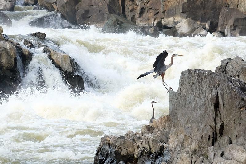 Herons at Great Falls