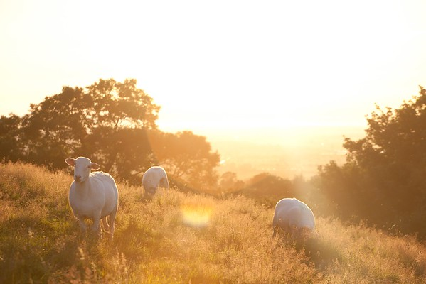 Sheep at sunset