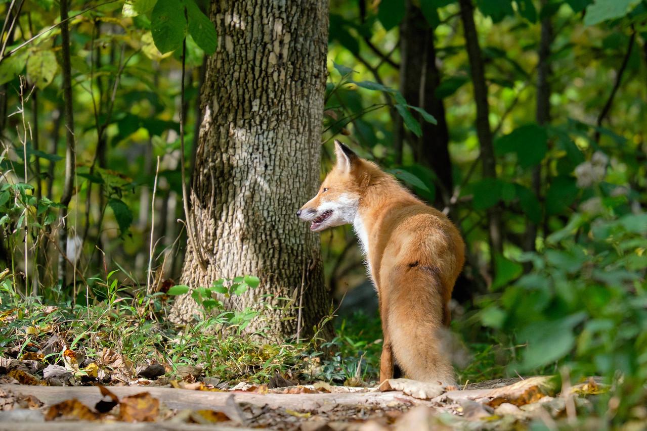 Fox at Great Falls