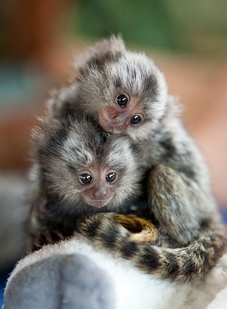 Three-month-old baby marmoset monkeys