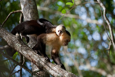 Mother and baby capuchin monkeys