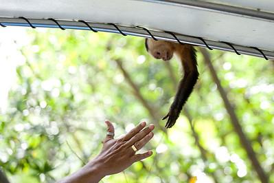 Wild capuchin greets a human