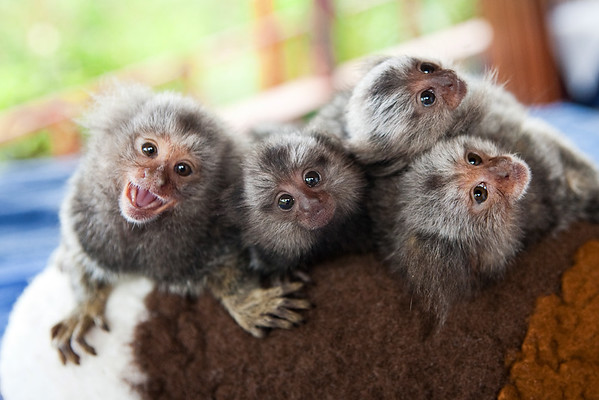 Baby marmoset monkeys
