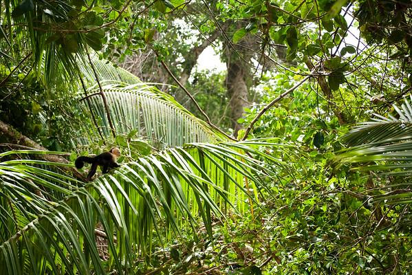 Wild capuchin in the jungle