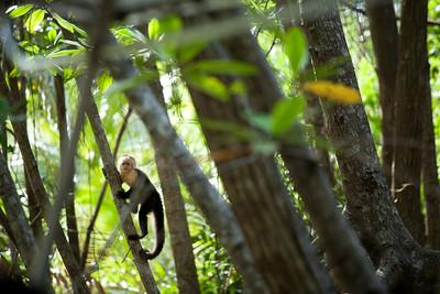Wild capuchin in Costa Rica