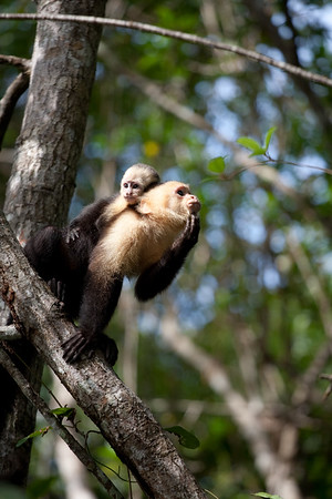 Mother and baby capuchin in Costa Rica 2