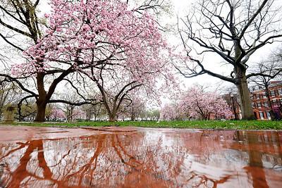 Magnolias in the rain