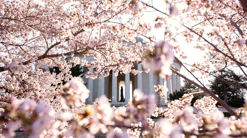 Jefferson in the cherry blossoms