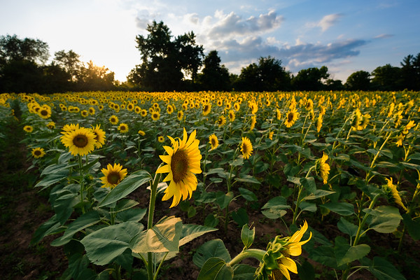 Sunflower fields at the McKee-Beshers Wildlife Management Area (1)