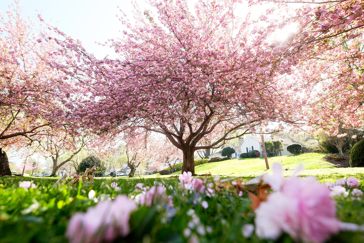 Annandale cherry blossoms