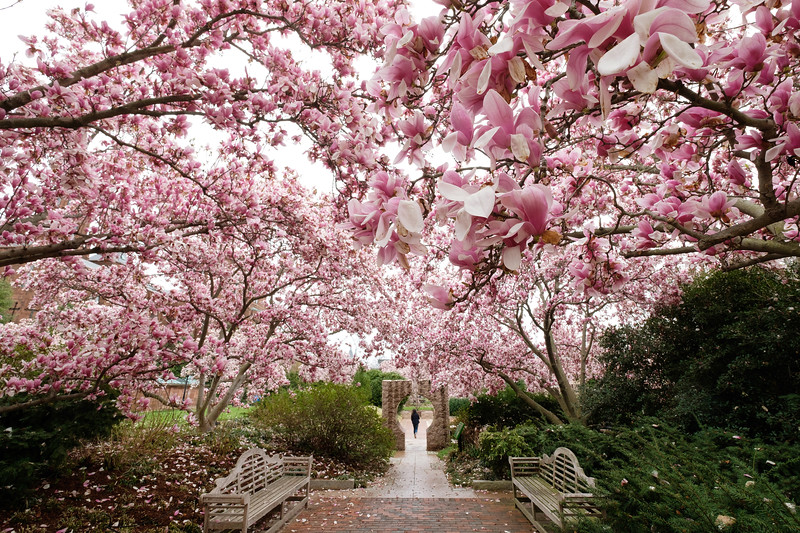 Blossoming Magnolias at the Smithsonian Castle