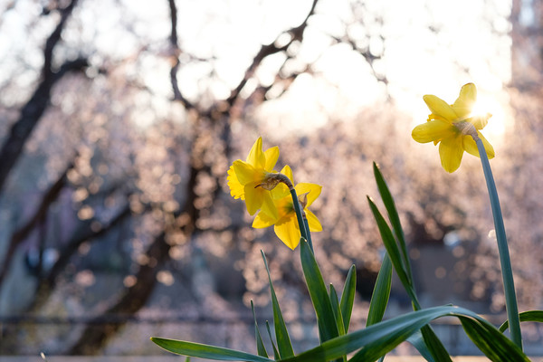 Daffodils and cherry blossoms at sunset