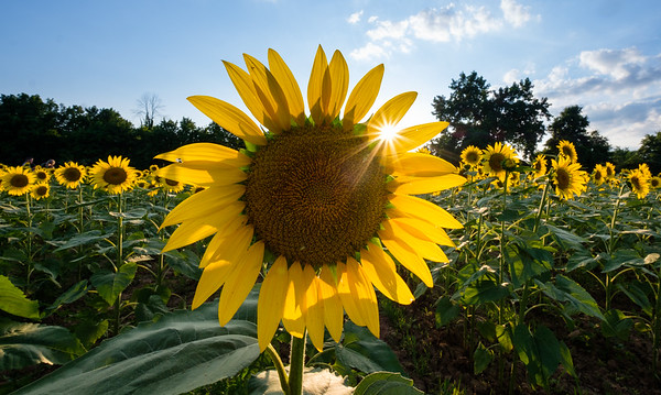 Sunflower fields at the Mckee-Beshers Wildlife Management Area (2)