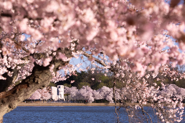 Martin Luther King, Jr Memorial surrounded by cherry blossoms