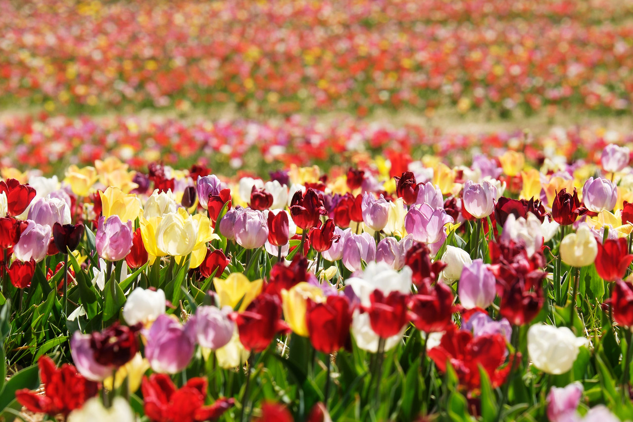 Tulips at Burnside Farms
