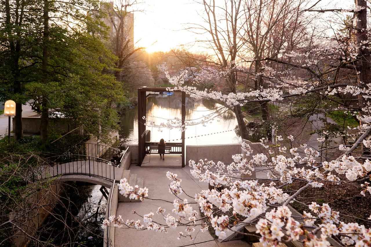 Watching a cherry blossom sunrise