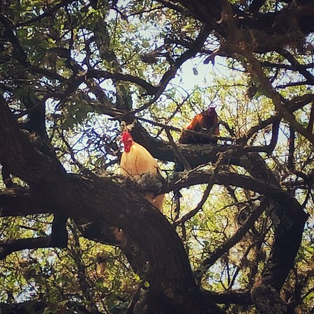 Where the Chickens go to Roost