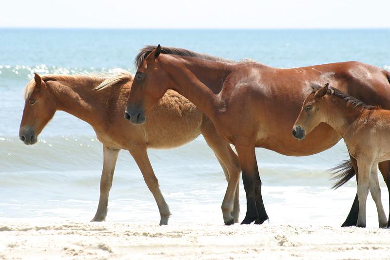 Wild horse family on the beach