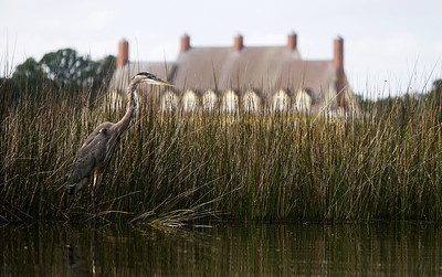Heron at the Whalehead Club