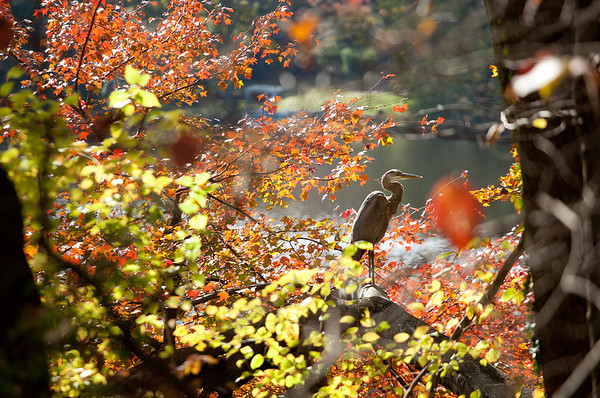 Autumn heron