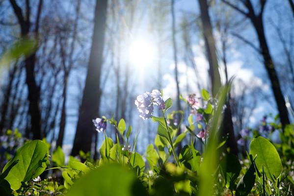 Spring bluebells at Manassas Battlefield Park