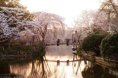 Cherry blossoms at the Van Gogh Bridge