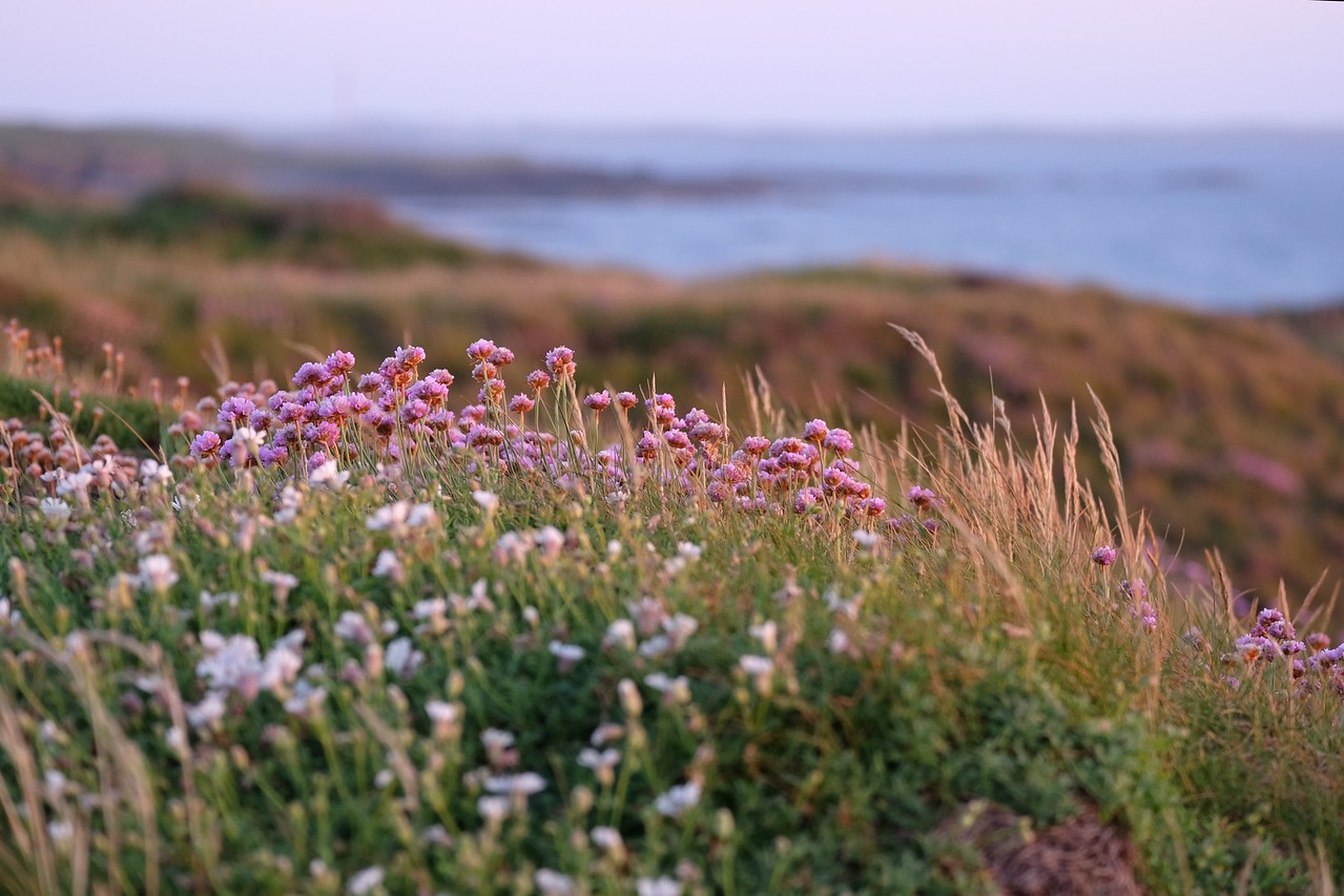 Wildflowers on the coast of Wales