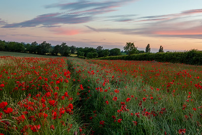 Poppy Field, Cambridgeshire