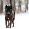Yamnuska Wolfdog Sanctuary, Cochrane, Alberta, Canada