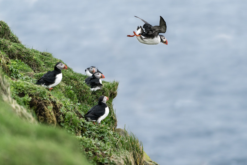 Millions of Puffins, Puffins for me